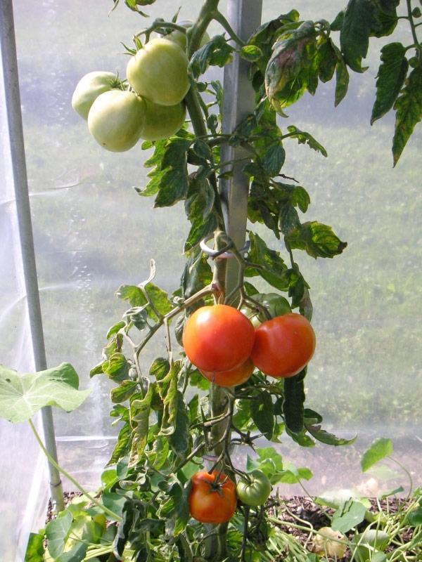 Tomaten-Pflanzstab aus Stahl